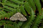 Brussels Lace (Cleorodes lichenaria) photo