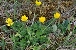 Bulbous Buttercup (Ranunculus bulbosus) photo