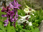 Bulbous Corydalis (Corydalis cava) photo