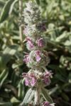 Bunnie´s Ears, Lambs Tongue (Stachys byzantina) photo