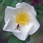 Burnet Rose (Rosa pimpinellifolia) photo