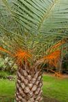 Canary island palm (Phoenix canariensis) photo