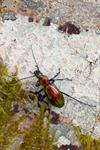 Carabus splendens photo