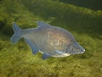 Carp bream (Abramis Brama) photo