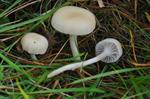Cedarwood Waxcap (Hygrocybe russocoriacea) photo