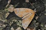 Chevron (Eulithis testata) photo