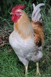 chicken, hen (Gallus gallus) photo