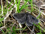 Chimney-sweeper (Odezia atrata) photo