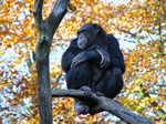 Chimpanze (Pan troglodytes) photo