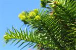 Chinese fir (Cunninghamia lanceolata) photo