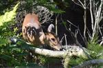 Chinese Muntjac (Muntiacus reevesi) photo