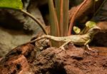 Chinese water dragon (Physignathus cocincinus) photo
