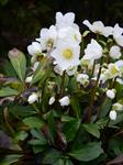 Christmas Rose (Helleborus niger) photo