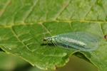 Chrysopa perla photo