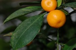Citrus aurantifolia photo