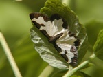 Clouded Border (Lomaspilis marginata) photo