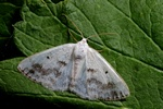 Clouded Silver (Lomographa temerata) photo
