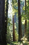 Coast Redwood (Sequoia sempervirens) photo