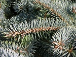 Colorado Spruce (Picea pungens) photo