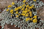 Colorado Stonecrop (Sedum spathulifolium) photo