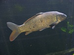 Common carp (Cyprinus carpio) photo