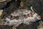 Common Carpet (Epirrhoe alternata) photo
