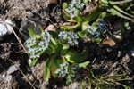 Common Corn Salad, Lamb´s Lettuce (Valerianella locusta) photo