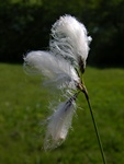 Common Cottongrass (Eriophorum angustifolium) photo