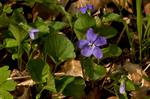 Common Dog-Violet (Viola riviniana) photo