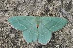 Common Emerald (Hemithea aestivaria) photo