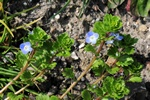 Common Field-Speedwell - Buxbaum´S Speedwell (Veronica persica) photo