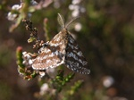 Common Heath (Ematurga atomaria) photo