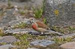 Common Linnet (Carduelis cannabina) photo