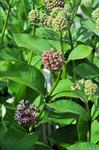 Common milkweed (Asclepias syriaca) photo