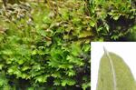 Common Pocket-moss (Fissidens taxifolius) photo