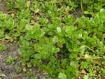 Common Purslane (Portulaca oleracea) photo