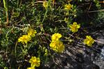 Common Rockrose (Helianthemum nummularium ssp. nummularium) photo