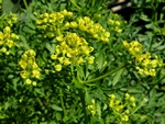 Common Rue (Ruta graveolens) photo