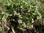 Common Scurvy-grass (Cochlearia officinalis ssp. officinalis) photo