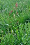 Common Sorrel (Rumex acetosa) photo