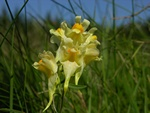 Common Toadflax (Linaria vulgaris) photo