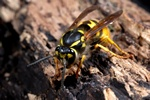 Common Wasp (Paravespula vulgaris) photo