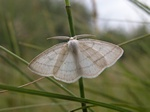 Common White Wave (Cabera pusaria) photo