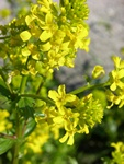 Common Wintercress (Barbarea vulgaris ssp. vulgaris) photo