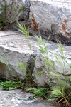 Compact Brome (Anisantha madritensis) photo