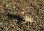 Coqui Francolin (Peliperdix coqui) photo