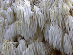Coral Tooth (Hericium coralloides) photo