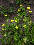 Corn Crowfoot (Ranunculus arvensis) photo