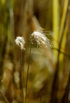 Cotton Deer Grass (Trichophorum alpinum) photo