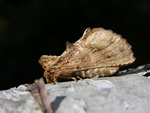 Coxcomb Prominent (Ptilodon capucina) photo